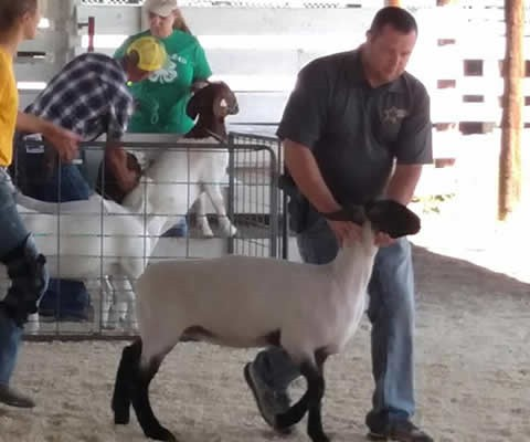 Deputy Anders in the celebrity round robin showing sheep at the Clay County Fair